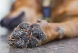 Gare au sel pour les pattes du chien
